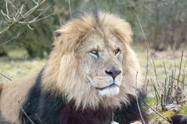 lion-1301554_1280