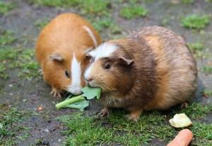 guinea-pig-467399_640